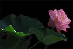 Pink Lotus Flower -IMG_7855 (Bahman Farzad) Tags: pink flower macro yoga peace lotus relaxing peaceful meditation therapy lotusflower lotuspetal lotuspetals lotusflowerpetals lotusflowerpetal