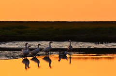 Twelve Geese (powerfocusfotografie) Tags: sunset haven holland reflection water colors birds waddenzee evening geese europe mood colours harbour vogels noordzee ganzen northsea reflejo groningen henk weerspiegeling waddensea noordpolderzijl tidalmarsh nikond90 100commentgroup powerfocusfotografie mygearandme