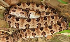 Habu Viper (Protobothrops mucrosquam