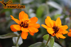orange flower (MoHammaD Al-jameel) Tags: