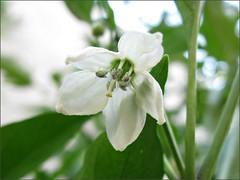 Pimento pepper flower