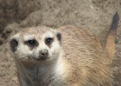 MEERKAT 180_238 (Dancing with Ghosts Graphics) Tags: ca copyright usa cute animal mammal meerkat pups small gang mob 180 clan mongoose angola sentry suricate burrows suricatta desert diurnal 2013 sansiego fawncolored herpestid iteroparous kalahari dwgg namib debbrawalker feliform dancingwghosts suricata suricatta botswana oraging siricata majoriae iona
