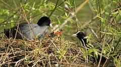 Coot and her chicks (Karen Antcliffe) Tags: babies nest feeding chicks coot
