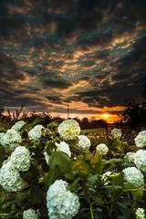 coucher de soleil fleuri (mille_emmanuel) Tags: flowers sunset sky cloud color beautiful vertical fleurs landscape soleil famous ciel nuage paysage couleur coucherdesoleil greatphotographers potd:country=fr