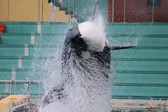 big mama is 13 ! (Cassandre.M) Tags: show white black nice jump marin killer whale orca cote maman mammals shamu antibes marineland biot dazur orque mammifere 13yo cétacé wikie epaulard