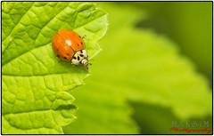 Marienkfer-Session (Maximkaa) Tags: orange sex insect sommer pflanze grn makro sonne insekt garten herb herbal liebe kfer geld erotik marienkfer johannisbeere punkte bumsen