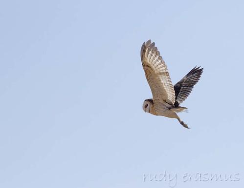 African Grass Owl_6951