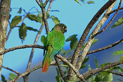 Maroon-bellied Parakeet, Theodoro Trail, Brazil (Terathopius) Tags: brazil endemic serradomar atlanticforest mataatlântica pyrrhurafrontalis maroonbelliedparakeet pyrrhurafrontalisfrontalis theodorotrail