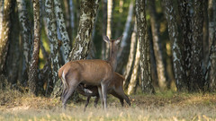 Biche et Faon (Philippe RICHARD 37) Tags: espace rambouillet 2016 cerfs elaphes rapace sangliers daims 78 yvelines sony alpha 77ii 700 tokina 300 28 atx zoom 100 45 56 multiplicateur x14