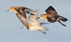 Baird's Sandpiper (Calidris bairdii) (timjhopwood) Tags: bairdssandpiper calidrisbairdii alberta flying inflight fall