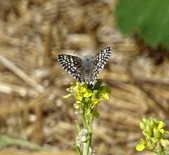 Common Checkered Skipper--Pyrgus communis (Polioptila caerulea) Tags: commoncheckeredskipper pyrguscommunis pyrgus ukiahwtp mendocinocounty california skipper butterfly