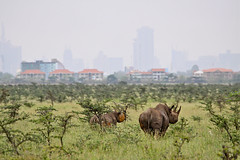 The March of Mankind (AJ Brustein) Tags: park morning wild black animal fog skyline canon aj day cityscape child natural kenya pair nairobi mother free safari national rhino manmade endangered plain rhinoceros mankind confined brustein 50d critically