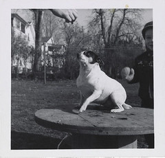 Dog posing on a table, ca. 1955