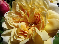 Golden Celebration ~ I think ! (seamaidengems) Tags: rose yellowflower bloom davidaustin