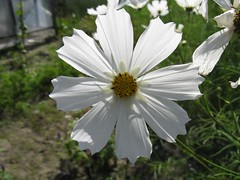 All in white (halina.reshetova) Tags: flowers summer plants nature coth5 hennysgardens