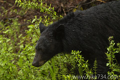 """Black Bear stares down garbage truck • <a style=""""font-size:0.8em;"""" href=""""http://www.flickr.com/photos/63501323@N07/5886695530/"""" target=""""_blank"""">View on Flickr</a>"""