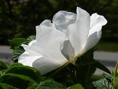 'Alba' rugosa rose (lovesdahlias 1) Tags: flowers roses summer nature gardens newengland