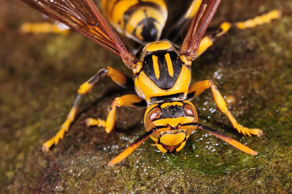 黃長腳蜂 Polistes rothneyi gressitti