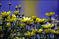 Yellow Flower Garden (Brian 104) Tags: flowers yellow flickrduel