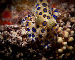 Blue Ringed Octopus - Hapalochlaena lunulata (Okinawa Nature Photography) Tags: life blue macro nature japan by photography insane amazing dangerous nikon marine underwater shot ds photographic daily best miller your national micro octopus housing scubadiving okinawa shawn dozen society hazardous rare find geographic ringed strobe poisonous nationalgeographic mostviewed 160 googleimages 105mm mybestshot d90 blueringedoctopus okinawajapan lunulata eightarms ikelite cephlapod cephalopoda oknawa hapalochlaena nikonoutdoors shawnmiller2012 okinawanaturephotography shawnmiller2011 underwaterflashphotography diveteammiller marinelifescubadivingmaedapointikelitehousing shawnmmillerphotography thebestunderwaterphotos cephlepodsofryukyuislands dangerousmarinelifeofokinawajapan marinelifemarinescience divingandjiving exoticmarinemacroimagesunderwater deadlyoctopusofjapan