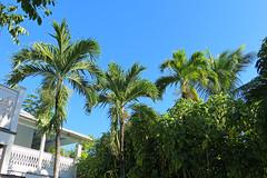 Key West (Florida) Trip, November 2013 8538Ri 4x6 (edgarandron - Busy!) Tags: palms keys florida palm palmtrees keywest floridakeys blueparrotinn
