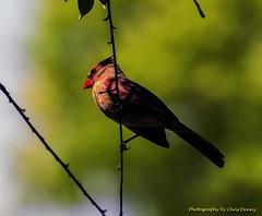 Northern Female Cardinal (Chris Denny/dennyc69) Tags: red birds cardinal