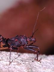 Assassin Bug - family Reduviidae (Dis da fi we (was Hickatee)) Tags: forest bug rainforest belize wildlife culture bugs toledo jungle puntagorda assassinbug reduviidae hickatee toledodistrict hickateecottages hickateebelize hickateepuntagorda