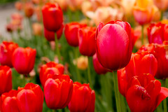 #tulips (Saibal K. Ghosh) Tags: new old red portrait usa flower nature digital canon photography photo petals photographer tulips bokeh picture arboretum tulip bloom mn chaska saibalghosh wwwsaibalghoshcom