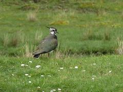 Lapwing standing, 2014 May 27 -- photo 3 (Dunnock_D) Tags: uk green bird grass scotland highlands unitedkingdom britain highland lapwing wildlifepark hwp