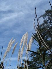 plumeros y nubes (gricelda abuela..fulltime..) Tags: plantas plumeros floresyplantas