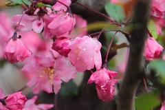 Pink Sakura (Toni Kaarttinen) Tags: japan  japonia    jap japonsko jaapan  japani japon xapn    japn jepang an tseapin giappone  japna japonija  japo  japonska japn hapon  japonya nht bn japanese kawasaki spring daishi park daishipark hanami sakura cherry cherryblossom cherryblossoms