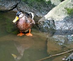 Mallard Duck, Anas platyrhynchos (asterisktom) Tags: 2016 trip2016kazakheuro july germany kahl bavaria bayern mallardduck mallard duck anasplatyrhynchos