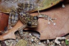 Amolops larutensis [Larut Hill Cascade Frog] (kkchome) Tags: herp herping herpetology amphibian amolops larutensis larut holl cascade frog asia malaysia bukit fraser wildlife fauna nature