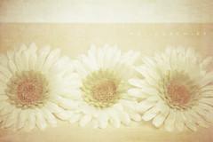 3 of a Kind. (MelissaEmikoPhoto) Tags: flowers texture daisies three soft pastel line gerbera dreamy hazy tones creamy kimklassenstainedlinen