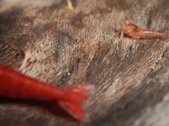 P6171359 玫瑰蝦