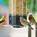 Trifecta! Left to right:  American Goldfinch, House Sparrow and a House Finch.