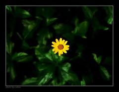 lonely leaf #4 (e.nhan) Tags: flowers light black flower green art nature leaves yellow closeup landscape colorful colours shadows dof bokeh arts backlighting enhan