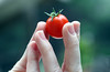 Plucked! (kathleenjacksonphotography) Tags: inspiration plant love nature fruit tomato furry hand fingers vegetable growing caring plucked