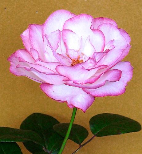 Rosa labios de mujer by alopez2006