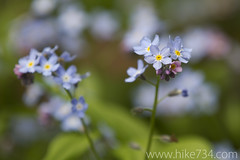 "Forget-me-not • <a style=""font-size:0.8em;"" href=""http://www.flickr.com/photos/63501323@N07/5886026237/"" target=""_blank"">View on Flickr</a>"