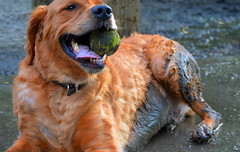 Muddy Golden Retriever: Featured on the A-Town Dog Blog [EXPLORE] (WilliamMarlow) Tags: dog pet pets dogs nova arlington goldenretriever virginia published mud canine cc creativecommons benjamin dogpark northern fetch arlingtonva banneker northernvirginia northernva d7000 atowndogblog