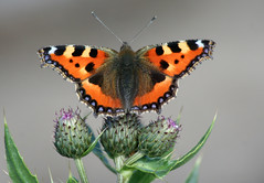 Small Tortoiseshell (Nymphalis urticae) (jonnobird (away in Cyprus)) Tags: uk scotland smalltortoiseshell scottishborders earlston nymphalisurticae