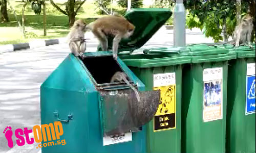 Monkey see, monkey do: Monkeys open lids of recycling bins at MacRitchie Park