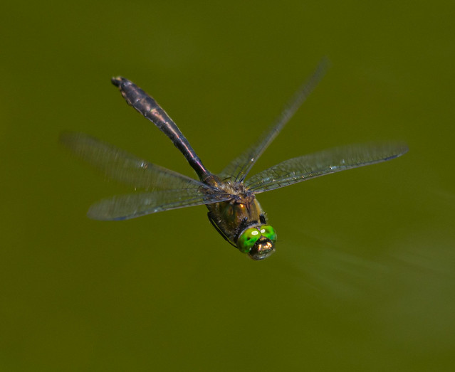 downy emerald in flight best