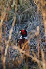 Hide and Peek (Andrew Goldstraw) Tags: morning light red portrait sunlight game bird english heritage nature canon reeds countryside early frost estate pheasant wildlife earlymorning palace headshot hideandseek phasianuscolchicus hide 7d seek blenheim 100400mm gamebird blenheimpalace catchlight groundfrost blenheimpalaceestate