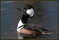 Hooded Merganser (ctofcsco) Tags: canon 1div 300mm allofnatureswildlifelevel1 allofnatureswildlifelevel2 allofnatureswildlifelevel3 allofnatureswildlifelevel4 allofnatureswildlifelevel5 allofnatureswildlifelevel6 allofnatureswildlifelevel7 allofnatureswildlifelevel8 explore 1d mark iv ef f28 l is usm ef300mm canonef300mmf28lisusm f28l 28l telephoto bokeh eos1d eos1dmarkiv eos 4 mark4 colorado co unitedstates usa northamerica duck ducks ducklike waterbird best wonderful perfect fabulous great photo pic picture image photograph