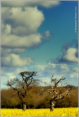 As old as time itself (frattonparker) Tags: sky clouds oak nikon zoom nikkor isle vr wight polaroidtransfer rapeseed yelloe oilseed 18200mm petrifiedtree d5000 nikefexpro capturenx2 colorefexpro4 btonner frattonparker