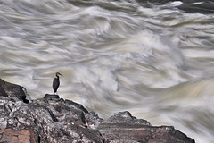 Great Blue Heron of Great Falls (Seth Oliver Photographic Art) Tags: nikon pinoy d90 croppedimage setholiver1 18105mmnikkorlens circularpolarizers tripodmountedshot remotetriggeredshot