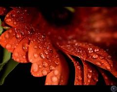 Happy mothers day to all moms~!~ (Usman Hayat) Tags: flower macro nikon flickr shot micro 28 105 nikkor vr hayat d800 usman uhayat