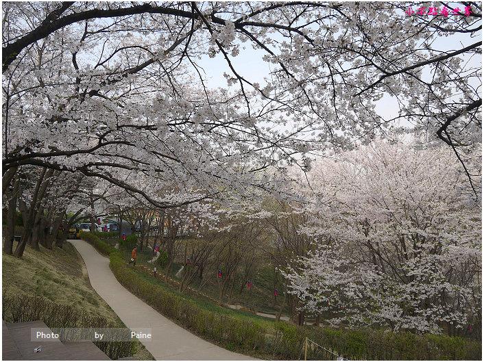 首爾鞍山公園櫻花道안산공원벚꽃길 (6).jpg